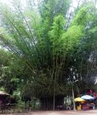 bambu Ghana 3