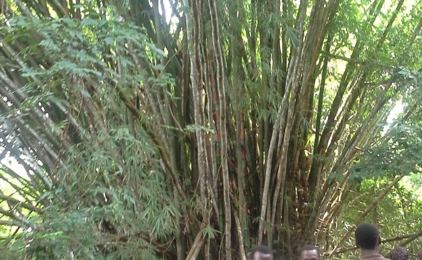 Bambù gigante nel WestAfrica