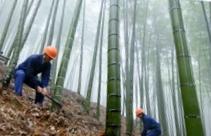 bambu in collina