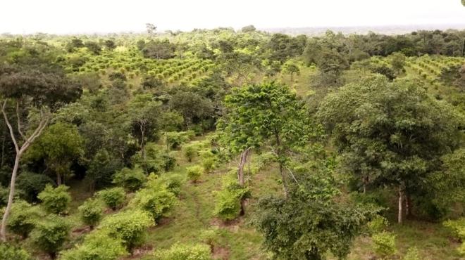 nuove foreste di bambu ad Ashanti