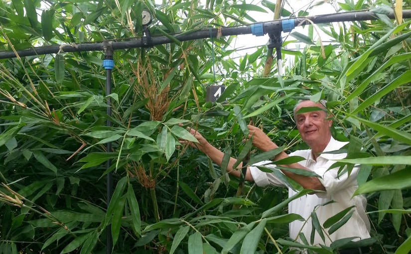 Per gli impazienti: Tropical il bambù giganteprecoce
