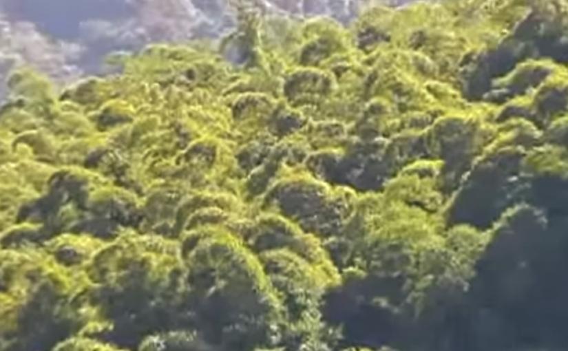 Bambù gigante batte mais 1 a0