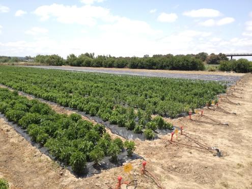 cultivo-stevia-cadiz