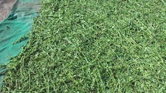 foglie stevia