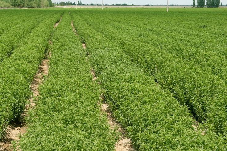 stevia granada coltivazione