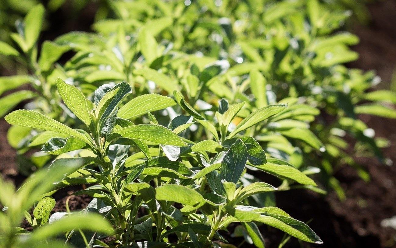 Kenia stevia