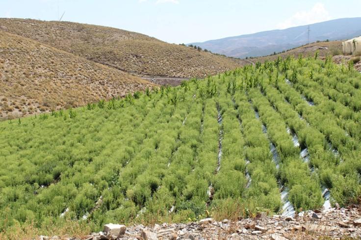 stevia Almeria