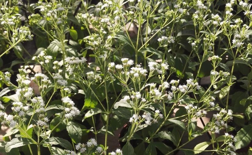 Stevia: 5.000 mq. difelicità
