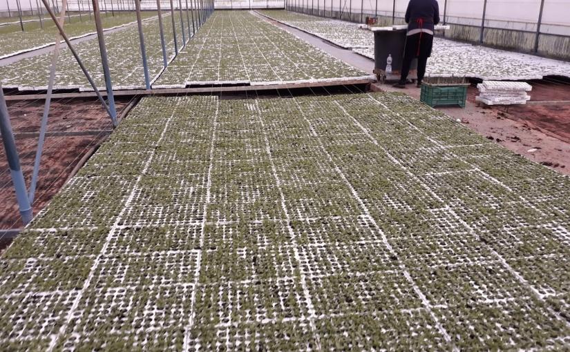 La stevia cresce rigogliosa inITALIA