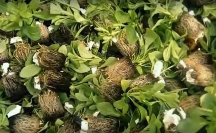 Piantine di stevia: strapazzate ma felici!