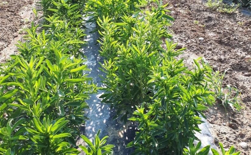 Al Centro o al Sud la stevia èvincente